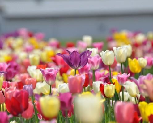 Garten-Tulpen